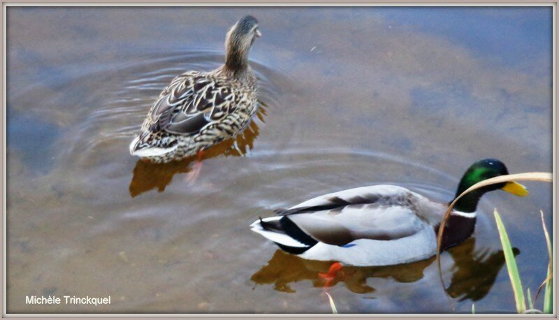 Couple de Colverts Lac Mimizan