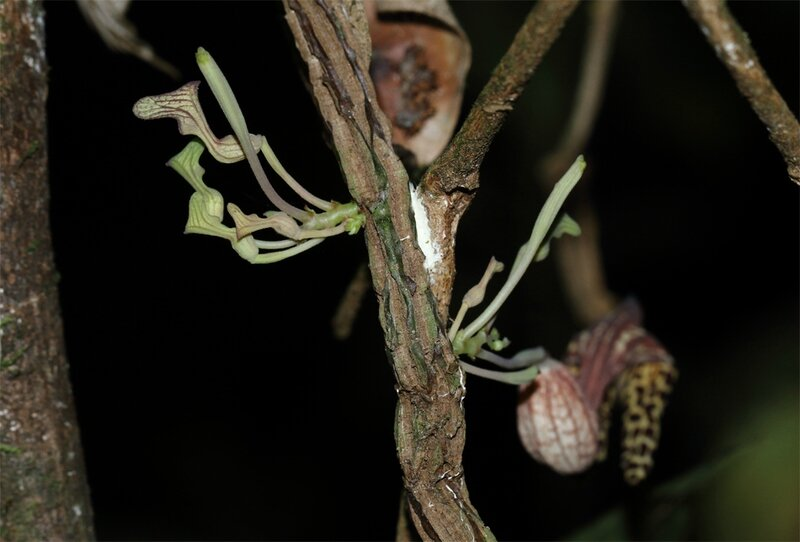Aristolochia iquitensis
