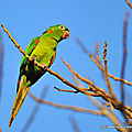 Conure pavouane - photos