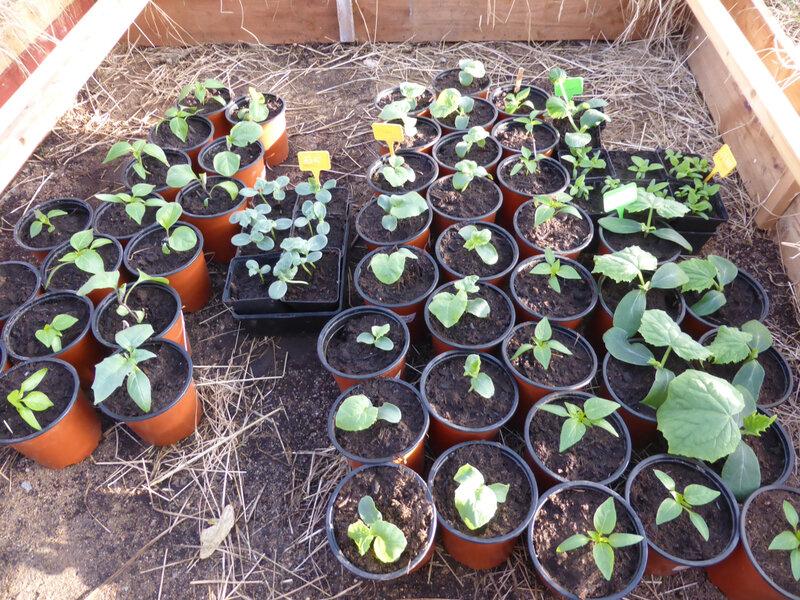 27-poivrons, plants, semis (2)