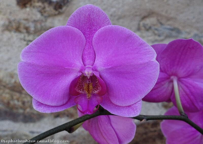 mai orchidée fleur