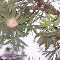 Protea - fleur emblème traditionnelle de l'Afrique du Sud