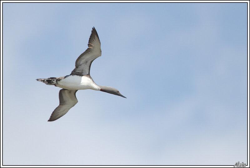 le vol du Plongeon (jamais mis en musique par Rimski-Korsakov !)