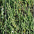 Salicorne d'europe (amaranthacées)