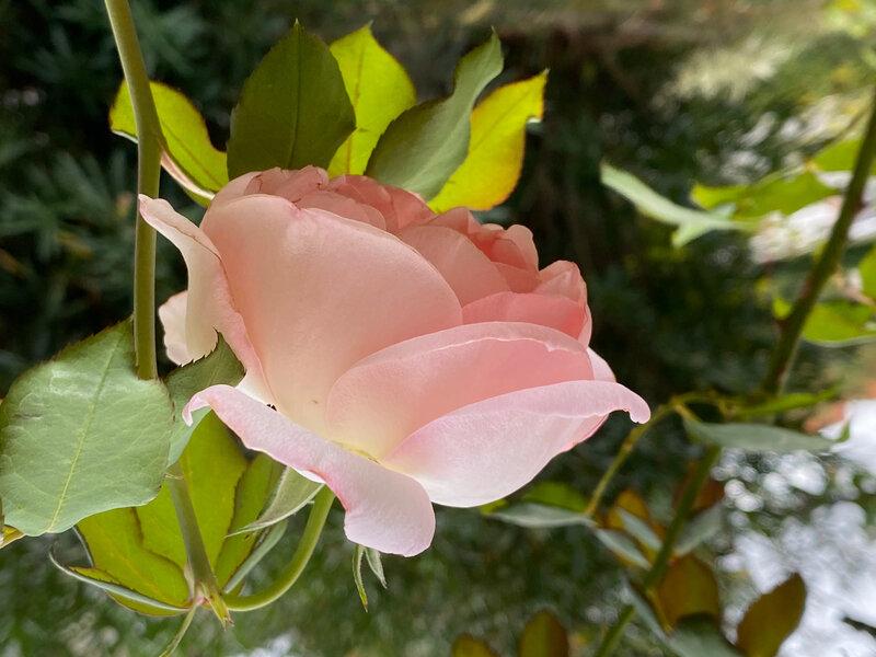 Rose Sandrine 1 10-19