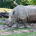 rhinoceros beauval6