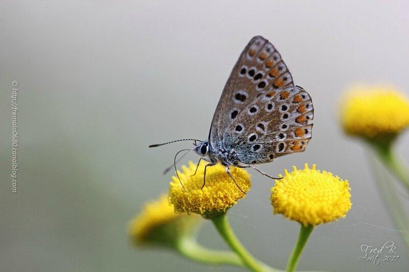Polyommatus sp (P. icarus?)
