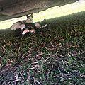 Maman chat et ses chatons non sevrés trouvés ds une poubelle aux Abymes