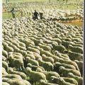 élevage intensif moutons australie