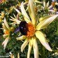 Dahlia et abeille Xylocopa