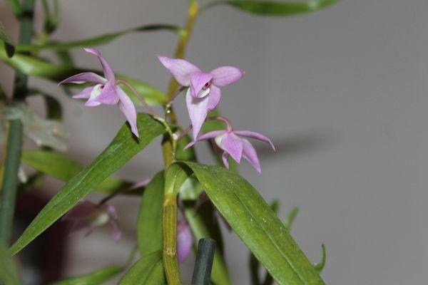 DENDROBIUM Hercoglossum 4