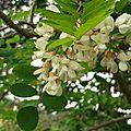 Acacia 1605162