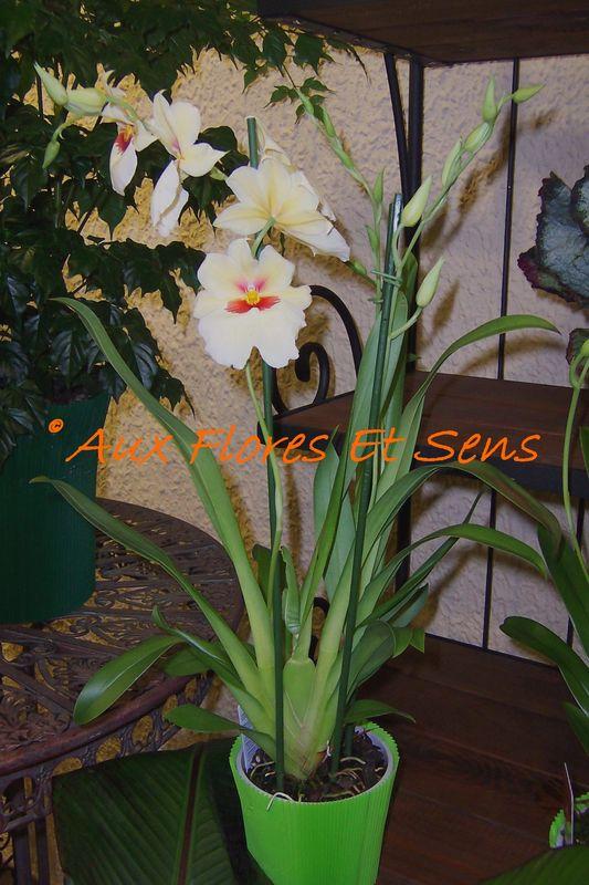 Miltonia (orchidée)