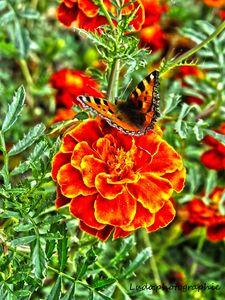 papillion (3)