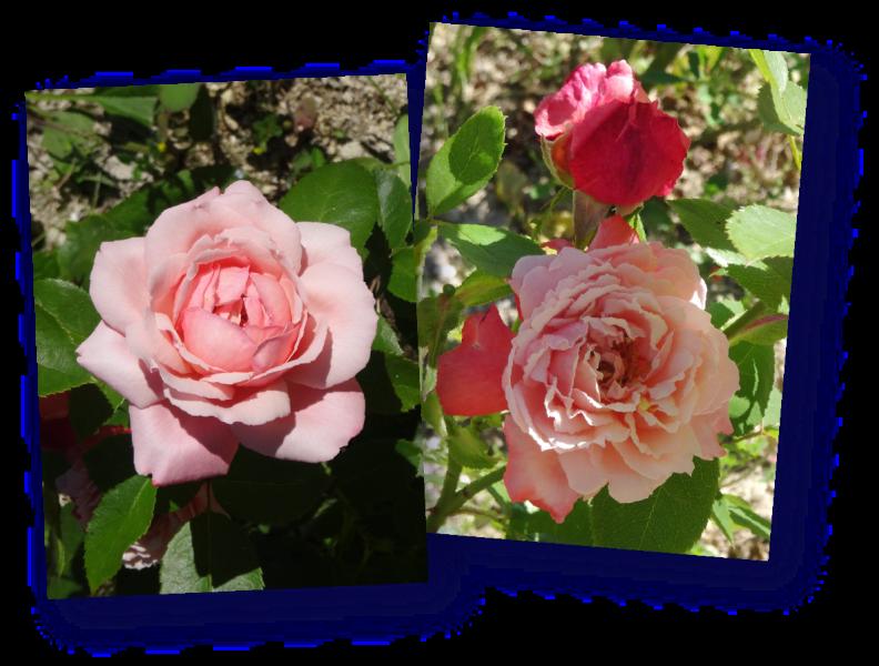 rosier arioso