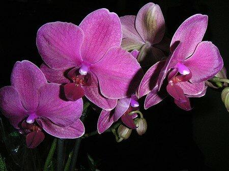 Orchid_es