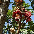 Couroupita guyanensis