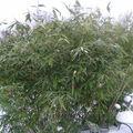 Des nouvelles de mes bambous