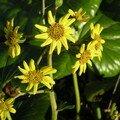 Fleurs de Farfugium japonicum