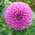 Dahlias14-blog