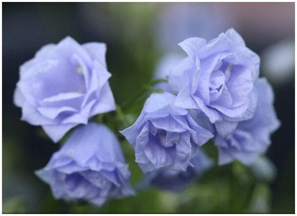 campanula-cochleariifolia-elizabeth-oliver-