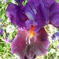 Iris violet à coeur feu