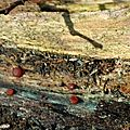 Myxomycètes (sous réserve)