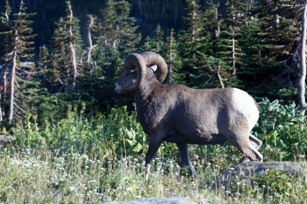 bighorn sheep glacier NP