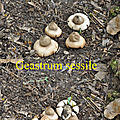 Geastrum sessile