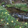 2009 04 20 Un petit ruisseau à côté du Lignon vers Mars en Ardèche en bordure de la Haute-Loire (15)