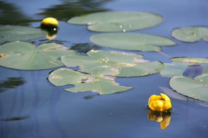 Grand Nenuphar Jaune Un Lac En Sante Lac Trottier De Saint Tite