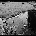 Ducks and cows / des canards et des vaches