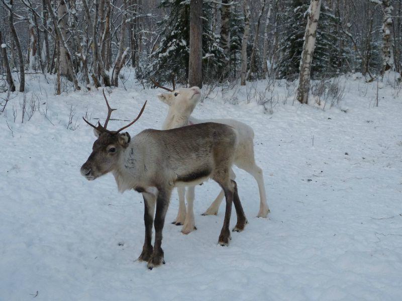Jeunes rennes