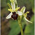 Ophrys petite araignée : ophrys araneola
