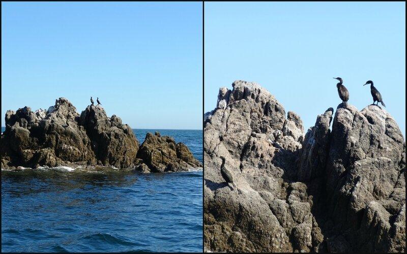 Les cormorans de l'archipel des Glénan
