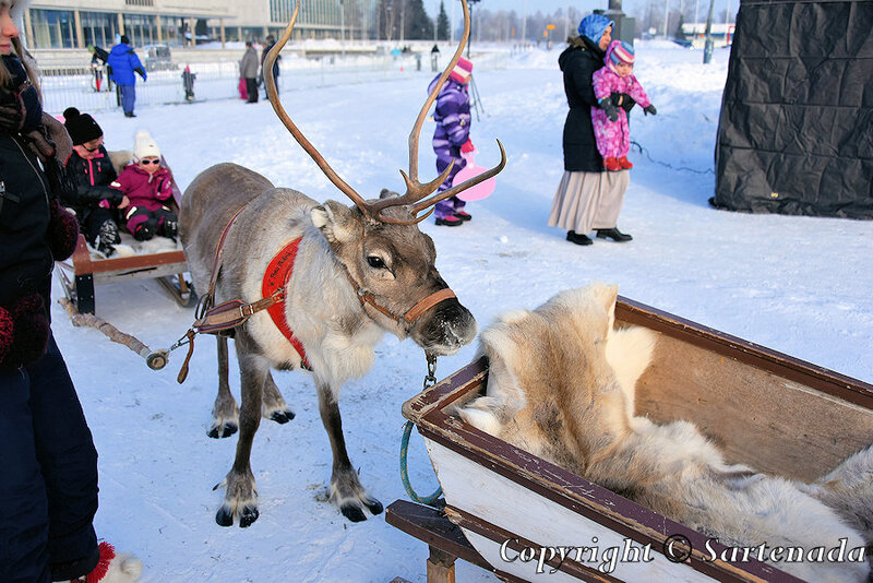 reindeer_rides_for_families_oulu_-3
