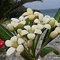Pittosporum tobira (Cerbère, mai 2016)