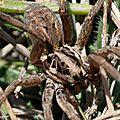 Tarentule radiée • Hogna radiata • Famille des Lycosidae