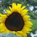 2008 09 03 Une fleur de tournesol géant Hélianthus Lin