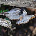 Polyporus varius (1)