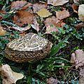 champignon (boletus porosporus)