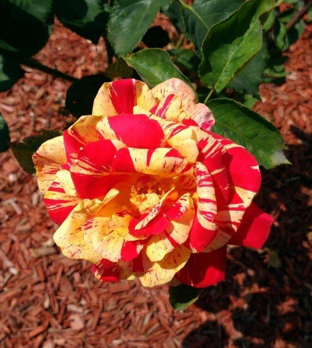 fleur St Q