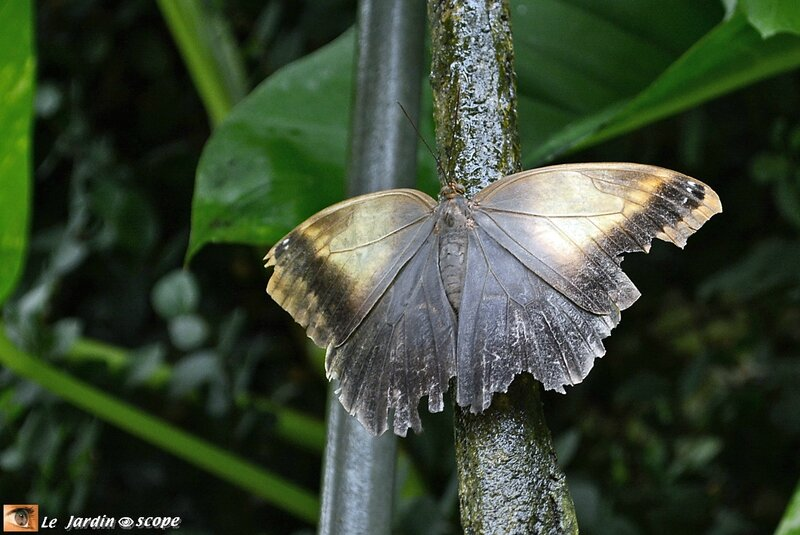 Caligo telamonius memnon • Brassolidae