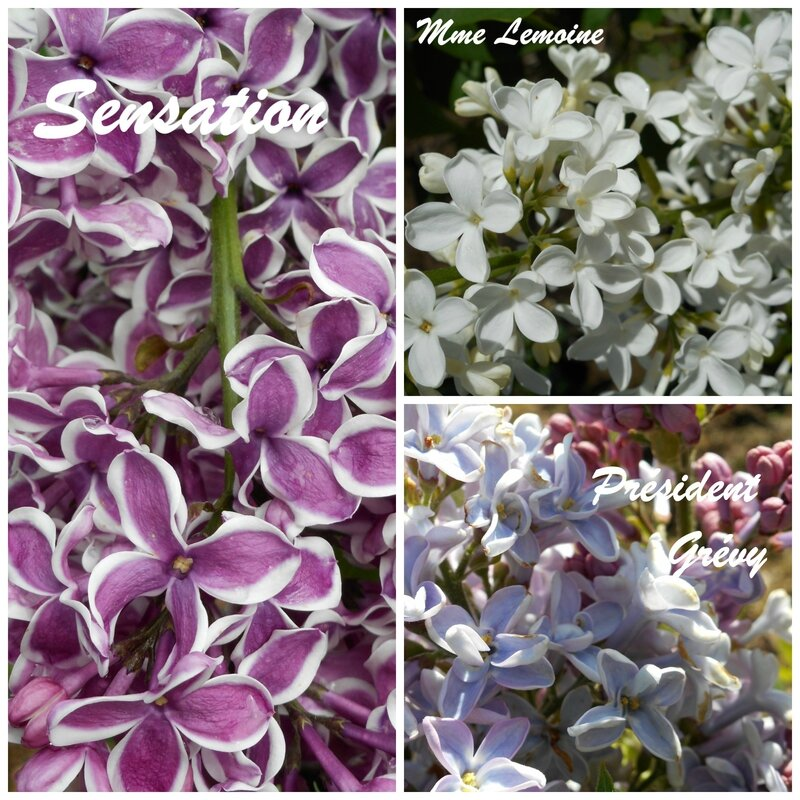 montage lilas