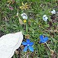 P1060083 Myosotois,Gentiane printaniére