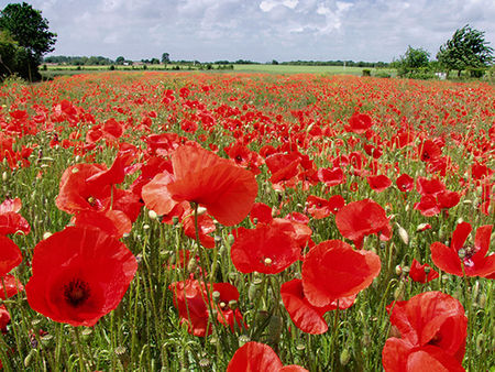 COQIELICOTS