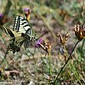 Le Machaon • Papilio machaon • Papilionidae