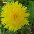 2008 05 04 0Une fleur de pissenlit