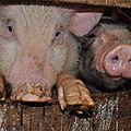 chèvrerie - cochons