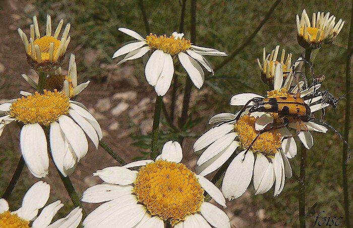 ligules blanches et fleurs tubulées jaunes